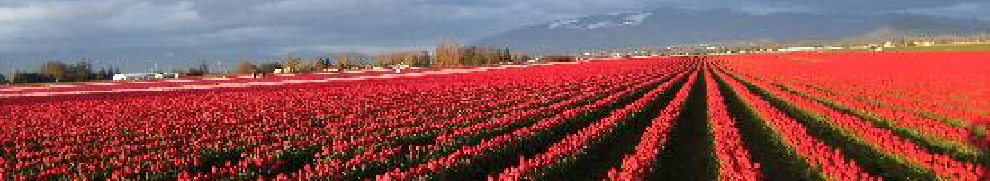 Tulip Fields near La Conner